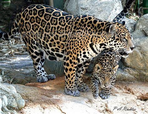 endangered species jaguar endangered species no 11 jaguar palm