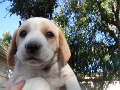 ksl dogs beagle puppies for sale in utah breeds picture