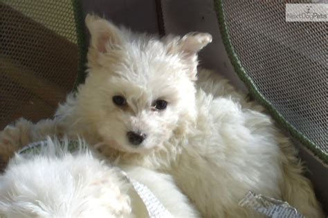 maltipoo puppies for sale in nj malti poo maltipoo puppy for sale near south jersey new