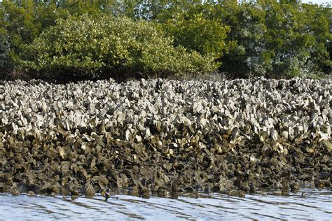oyster beds oyster bed photograph by jeffrey zipay
