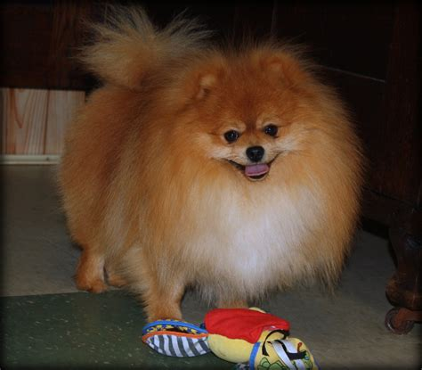 pomeranian grown our boys