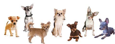 yorkie con chihuahua todas las mezclas de perros chihuahua los perros chihuahua