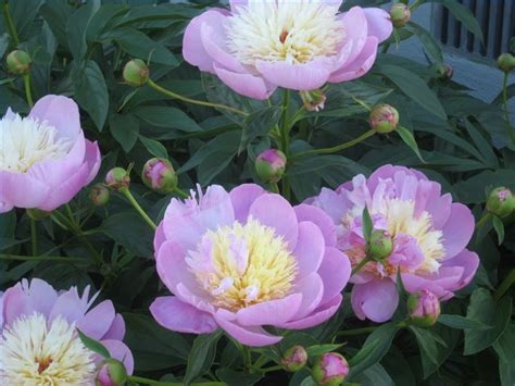 when to transplant peonies peonies and colour