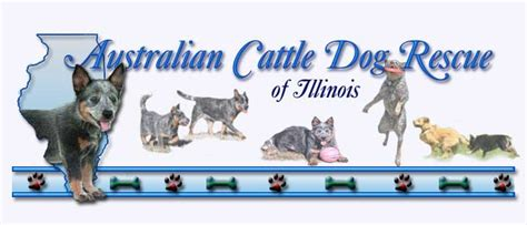 cattle rescue australian cattle rescue of illinois adoption heelers