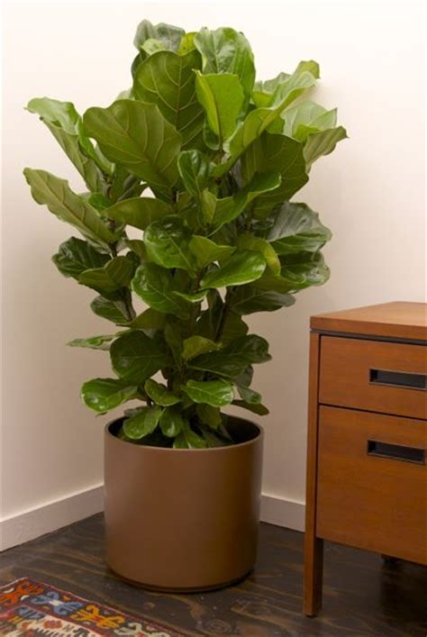 indoor plants online houston s online indoor plant pot store fiddle leaf