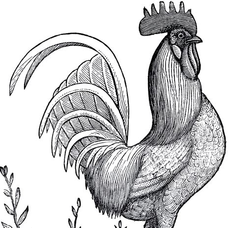 clipart domain 14 rooster images the graphics
