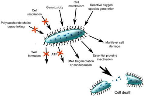 potential mechanisms   antibacterial substances