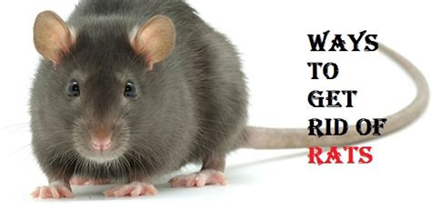 how do i get rid of rats in my backyard how to get rid of rats