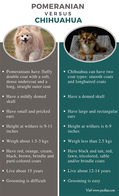 pomeranian behaviour difference between pomeranian and chihuahua facts features characteristics and