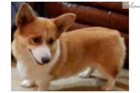 corgi puppies houston corgi pembroke puppy for sale near houston a9cbb69e 1951