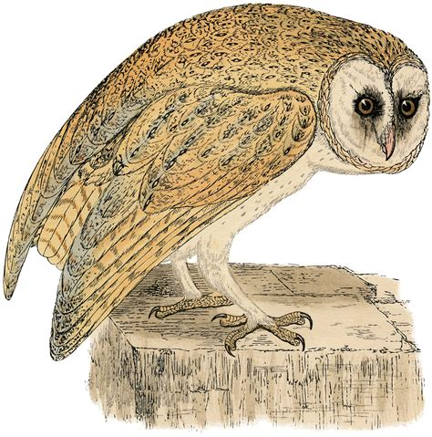printable owl graphics natural history owl print the graphics fairy
