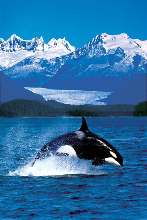 Plakat Filmu Kiler by Plakat Obraz Killer Whale Posters Pl
