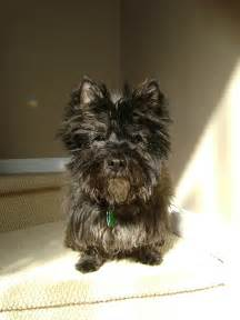 brindle cairn haircut cuts for a pomeranian yorkie mix hairstyle gallery