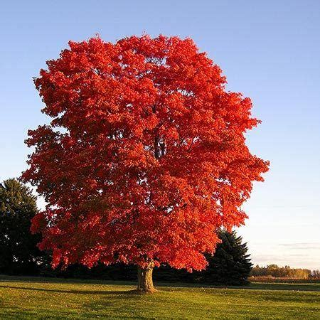 maple tree name in american maple learning from dogs