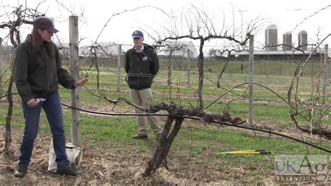 grape vine pruning demonstration youtube