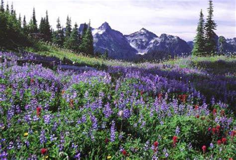 wildflower meadow at mt rainier national park