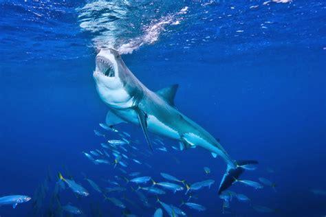 ataque mortal de un gran tiburon blanco tibur 243 n blanco alimentaci 243 n medidas habitad ataques y