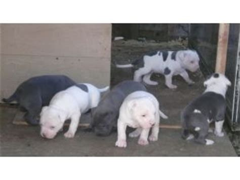 all white pitbull puppies for sale american pit bull terrier puppies in california