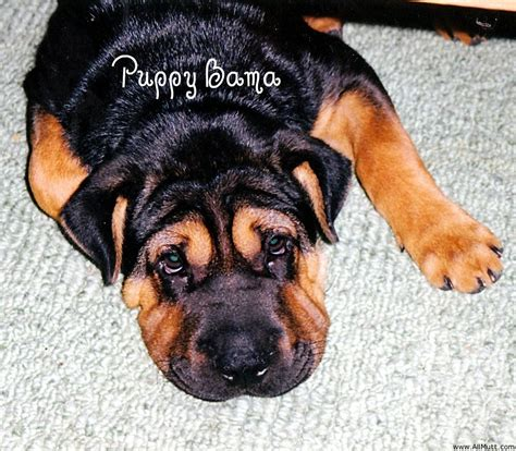 rottweiler pomeranian mix chow chow labrador retriever mix picture photo breeds picture