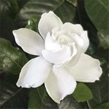 gardenia giardino gardenia in vaso giardino gardenia 26