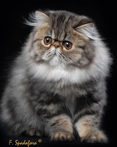 toltechi persiani gatti persiani allevamento toltechi persians dal 1989