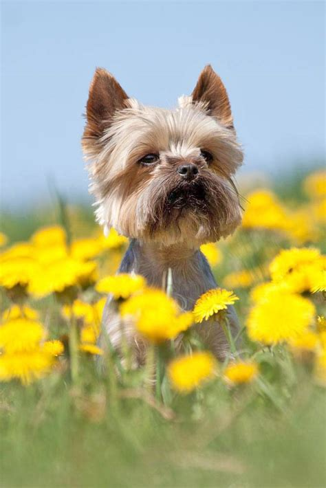names for a yorkie yorkie names terrier names yorkies puppy pictures and