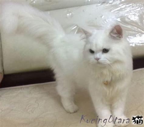 Vitamin B Complex Untuk Kucing kucing utara kepentingan vitamin b complexs kepada kucing