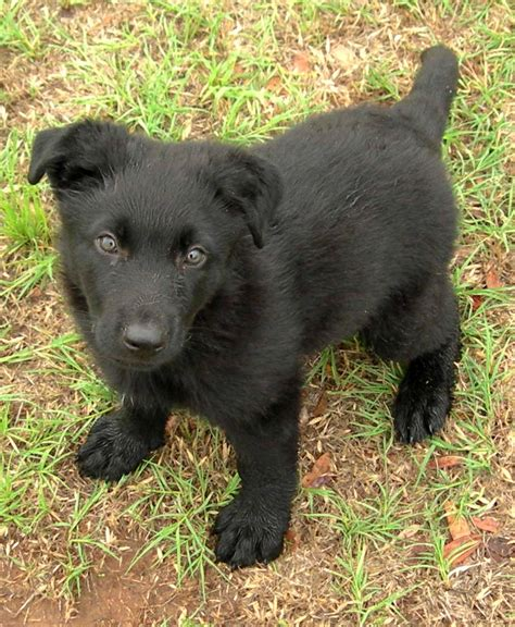 black german shepard puppy black german shepherd puppies