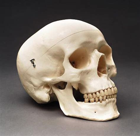 imagenes de calaveras humanas human skull adult anatomical medical model new ebay