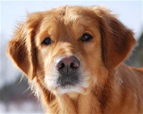 national golden retriever day national rescue committee of the golden retriever club of america