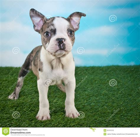 frenchton puppies price frenchton puppy stock photo image of summer baby 55191312