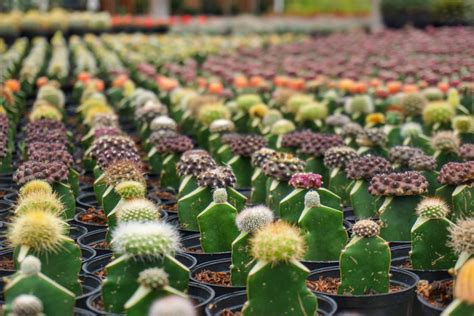Hiasan Meja Kaktus Plastik Cantik Dekorasi Rumah Unik rumah bunga rizal lembang pergidulu