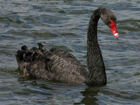 black swan swans and black swans animal photo