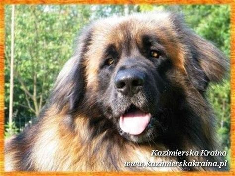 leonberger puppies for adoption leonberger puppies for sale adoption from warsaw adpost classifieds gt usa