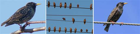 starlings grackles and blackbirds cause many bird