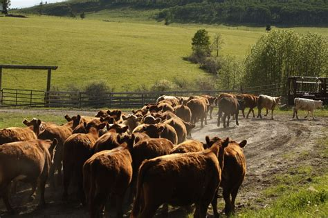 Cme Feeder Cattle Quotes u s livestock firmer beef quote rallies cme live cattle