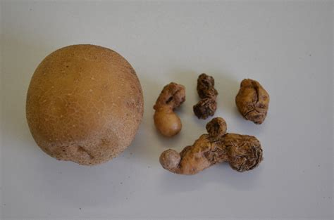 what is potato potato spindle tuber viroid agriculture and food