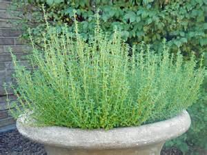 Thyme Herbs herbs cook it