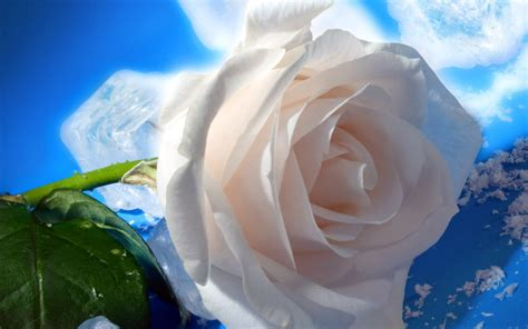hd wallpapers for laptop rose white rose hd widescreen wallpaper 1920 215 1080 hd wallpapers