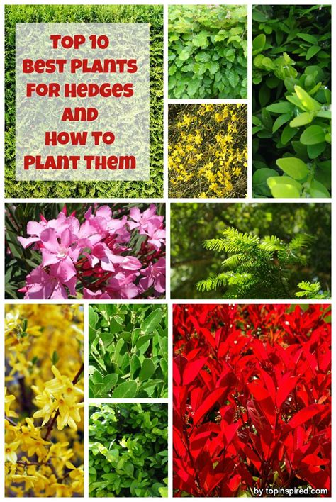 best plants top 10 best plants for hedges and how to plant them