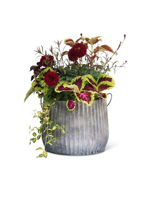 galvanized ribbed barrel planters pots  plants