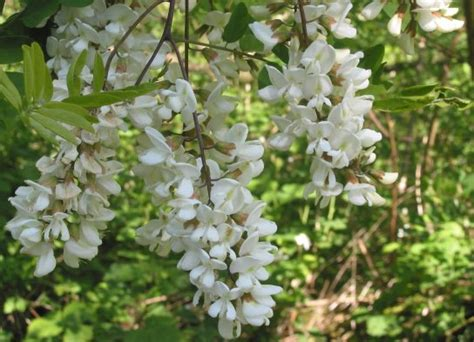 fragrant trees with white flowers ornamental flowering tree robinia
