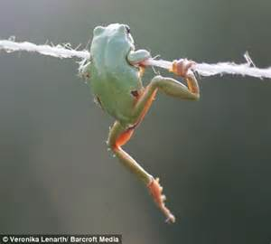 a ribbiting performance from the high wire frog | daily