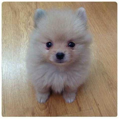 adopt a pet pomeranian adopt a pomeranian adoption pomeranian puppy american pomeranian club breeds picture