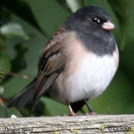 26 best birds of san diego mountains images on pinterest