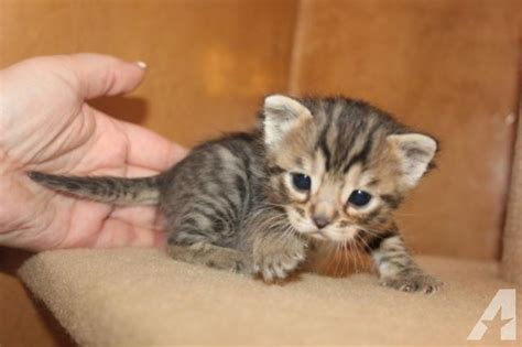 shorthair kittens for sale cubbari shorthair bengal kittens for sale new