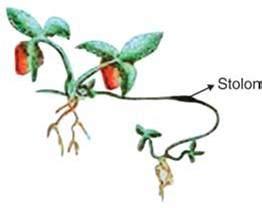 Umbi Rumput Teki Kering pemencaran organisme biologi
