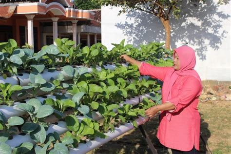 panduan lengkap  menanam sawi hemat tempat budidayakita