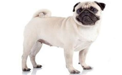 different types of pugs the world s catalog of ideas
