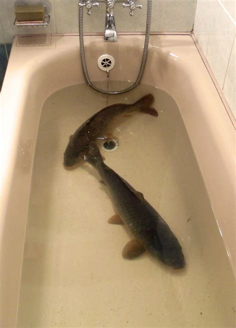 a fish in the bathtub carp fishing